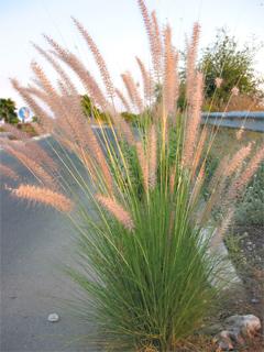 Tiberias Cenchrus, Foxtail grass
