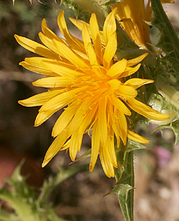 Spanish Golden-thistle