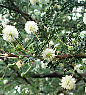 Twisted acacia