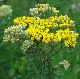 Yellow Milfoil
