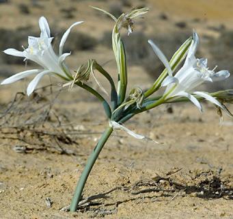Desert Pancratium