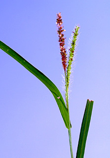 זיפן  קטן-פרחים