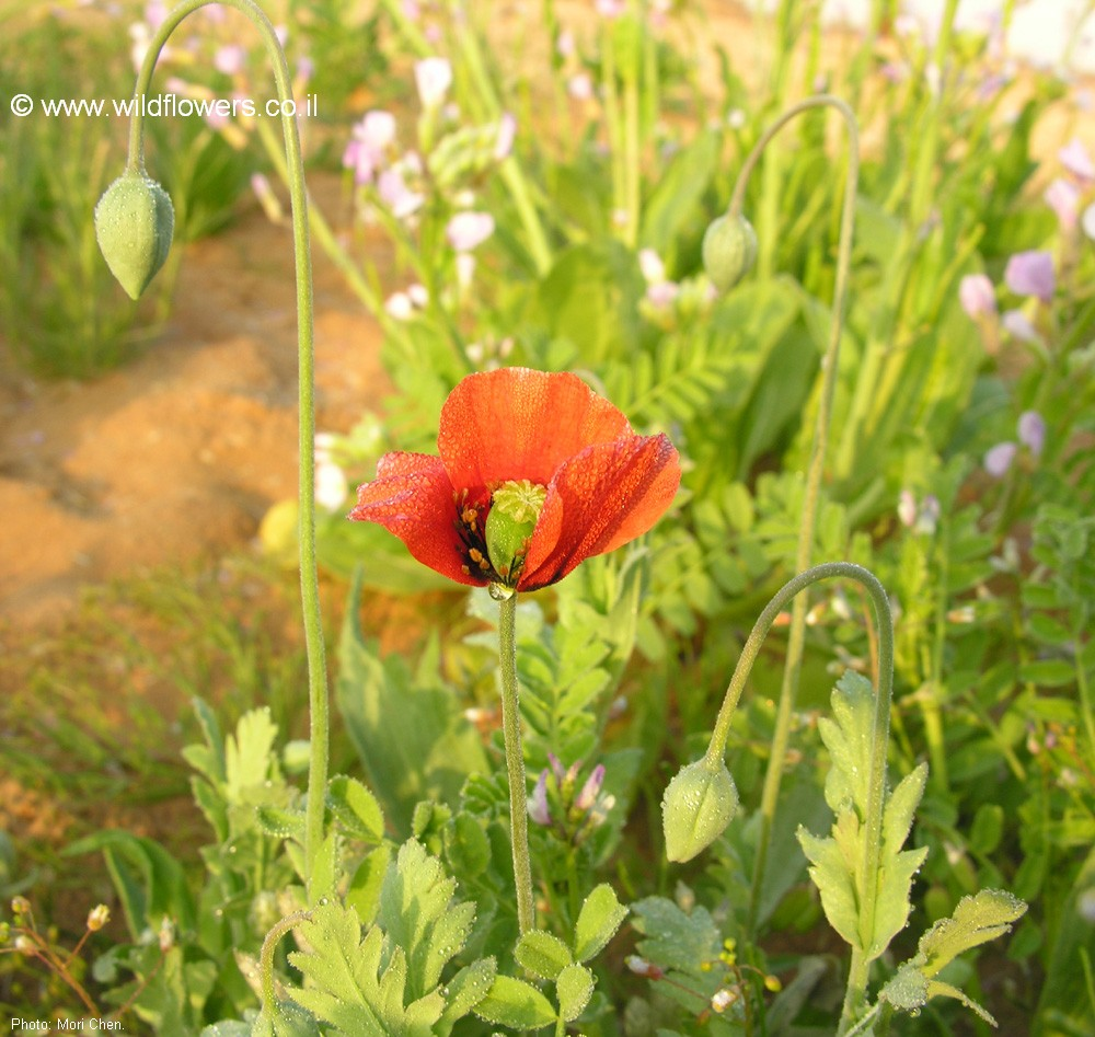 Papaver decaisnei