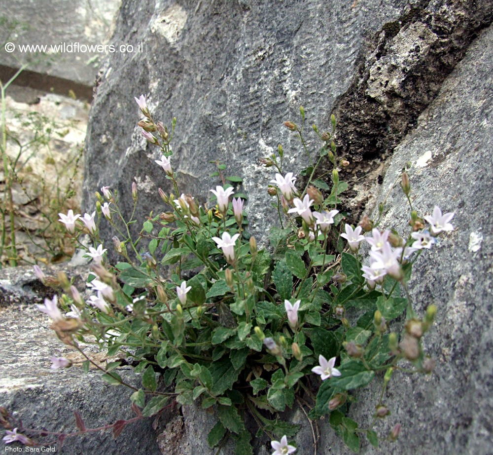 Campanula damascena
