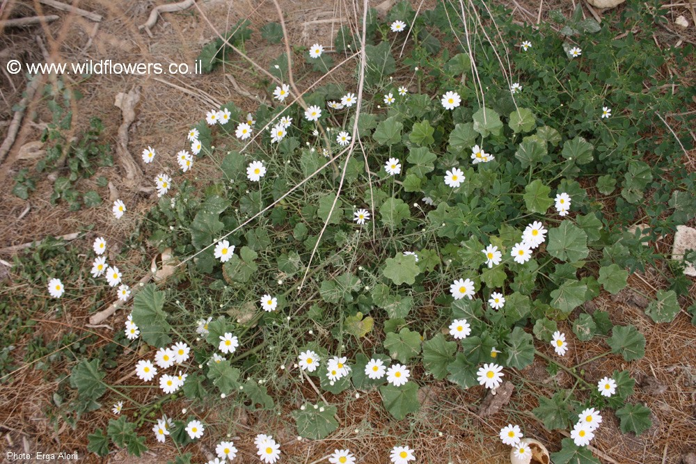 Anthemis maris-mortui