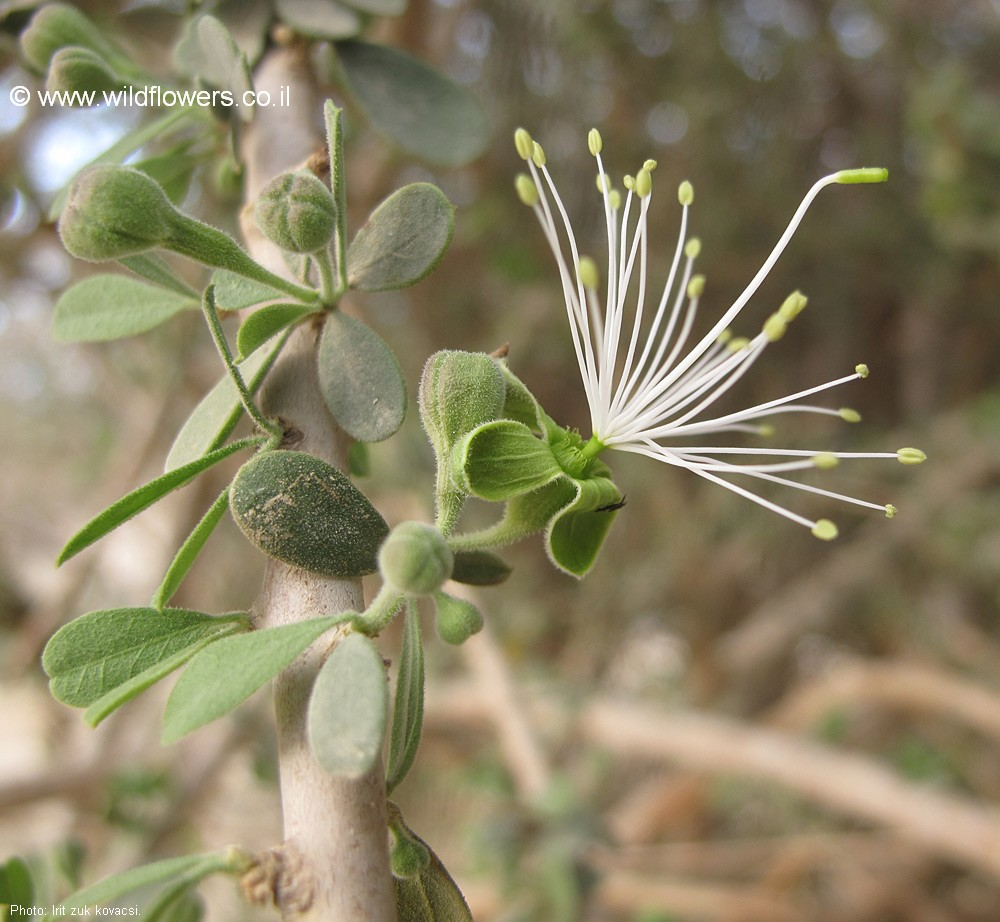 Maerua crassifolia