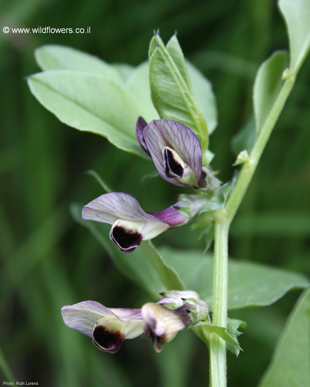 Vicia galilaea