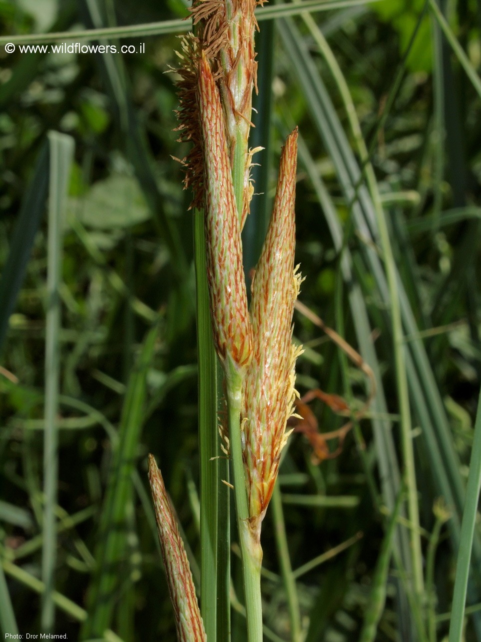 Carex hispida
