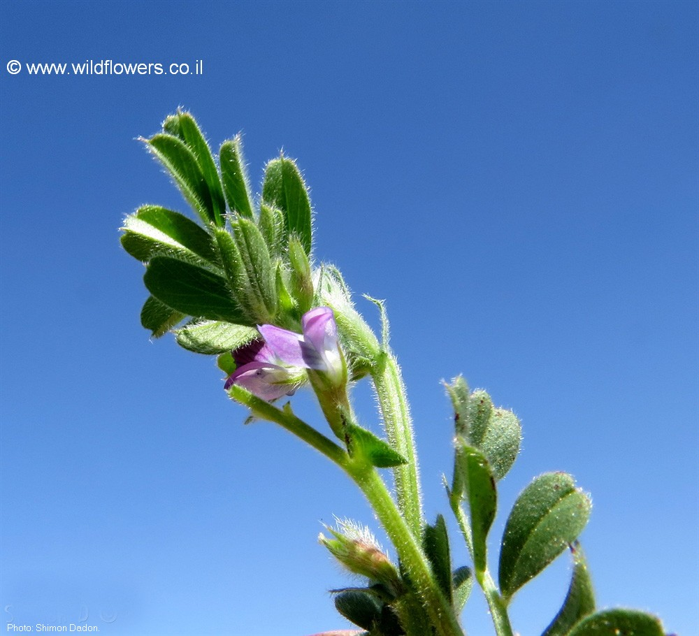 Vicia lathyroides