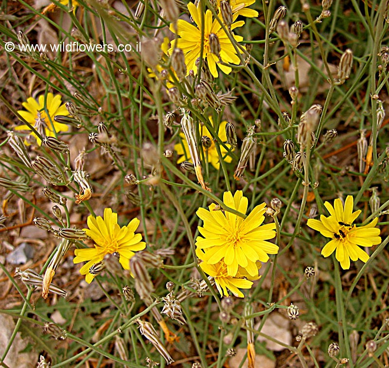 Launaea nudicaulis