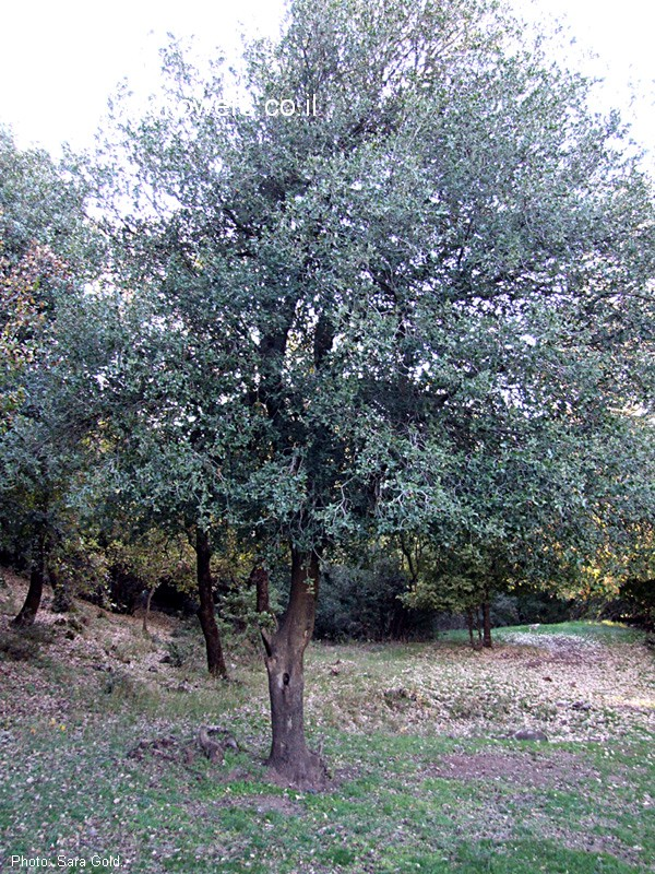 Quercus calliprinos