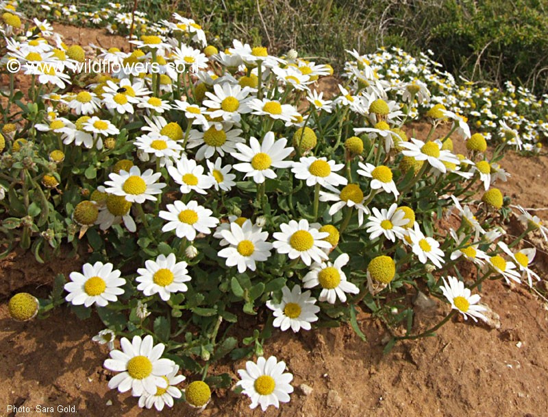 Anthemis leucanthemifolia
