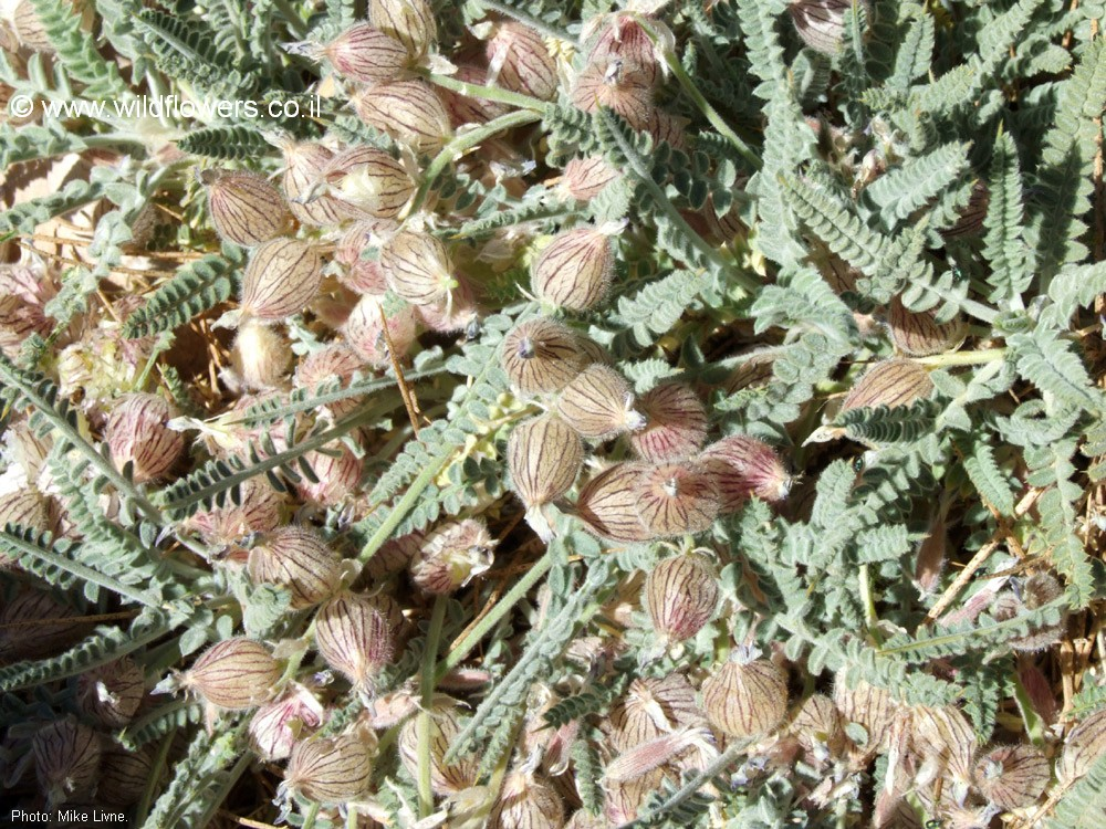 Astragalus coluteoides