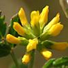 Trigonella cylindracea