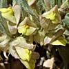 Kickxia floribunda