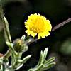 Pulicaria sicula