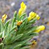 עלקלוק צהוב פרחים