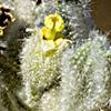 Chrozophora obliqua