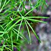 Asparagus palaestinus