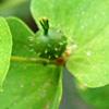Euphorbia valerianifolia