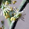 Caylusea   hexagyna
