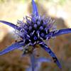 Eryngium falcatum