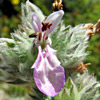 Stachys viticina