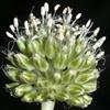 Allium pseudocalyptratum