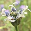 קצח זעיר פרחים