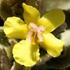 Verbascum leptostachyum
