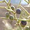 Asparagus horridus