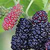 תות שחור