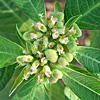 Euphorbia geniculata