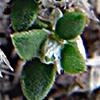 Paronychia palaestina