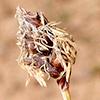 Carex pachystylis