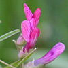 Vicia monantha