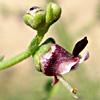 Scrophularia peyronii