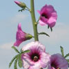 Bristly Hollyhock