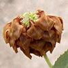 Trifolium boissieri