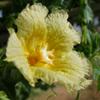 Momordica balsamica
