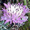 Centaurea speciosa