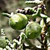 Juniperus pheonicea