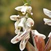 callipeltis cucullaria