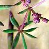 Galium hierosolymitanum