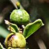 Euphorbia microsphaera