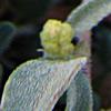 מלוח שעיר-פרח