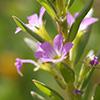 Lythrum hyssopifolium