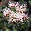 Eupatorium cannabinum