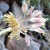 Allium pseudostamineum