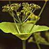 Smyrnium connatum